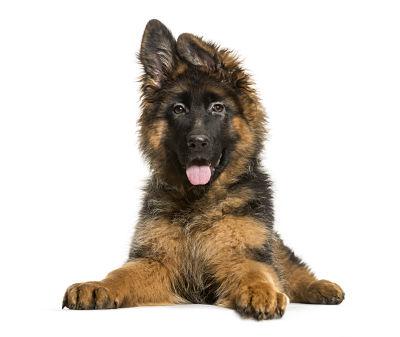 pastor aleman perro guardian para el hogar